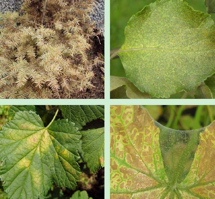 Szkody wyrządzane przez przędziorki na różnych roślinach uprawnych
