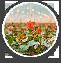 Rośliny ozdobne - ikona